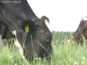 Una vacca di Cascina Roseleto bruca la sua erba, libera nei pascoli aziendali. La foto, attualmente ancora presente sul sito dell'ALNI, verrà presto rimossa dallo stesso - foto di Cascina Roseleto©