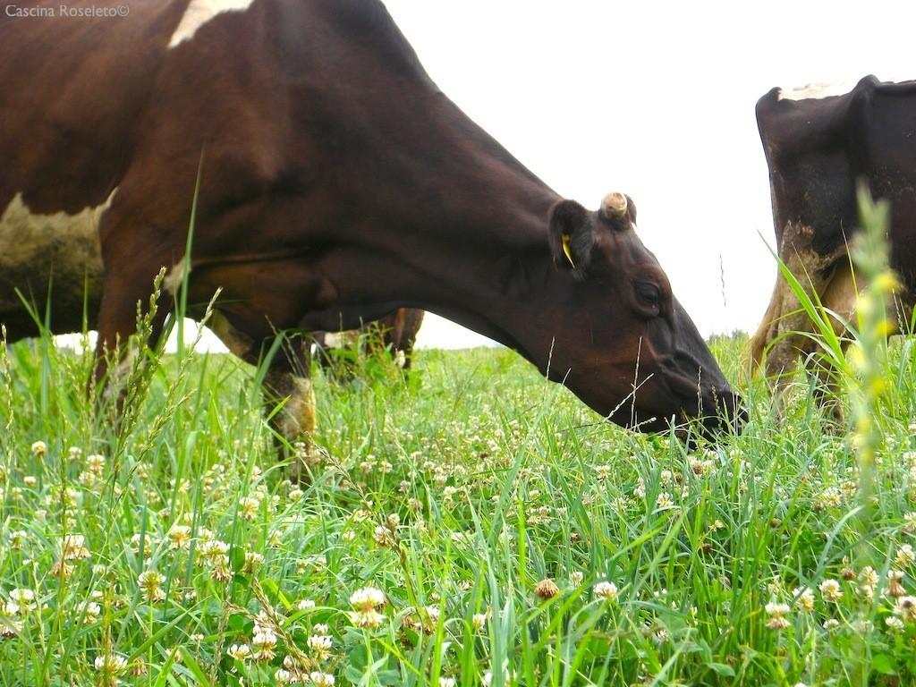 225 giorni di pascolo effettivo per le vacche di Cascina Roseleto - foto Cascina Roseleto©