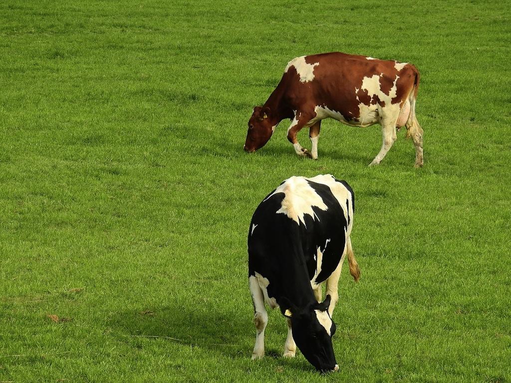 Le due libertà che mancano alle vacche da zootecnia intensiva: quella di potersi muovere all'aperto, e quella di poter brucare erba fresca, scegliendola - foto Pixabay©