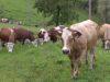 Serve il pascolamento per garantire la qualità reale al latte e ai suoi derivati. Lo spiega bene il servizio del TG Leonardo del 19 aprile scorso