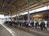 Una stalla in cui viene prodotto il ''latte sostenibile'' della Mukki, Selezione Mugello