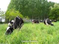 Vacche all'erba. Ma per davvero, come dicono ormai a Cascina Roseleto. Le altre? In stalla una vita - foto Cascina Roseleto©