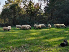 Pecore Cab Liguria