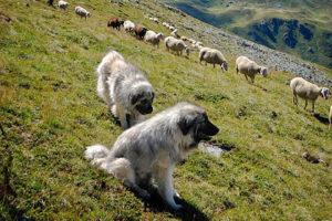Gregge con cane da guardiania
