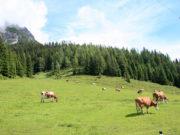 Pascolo con vacche