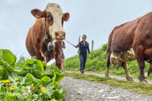 Vacche al pascolo - Alpage École de Grande Montagne
