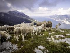 Pecore in alpeggio
